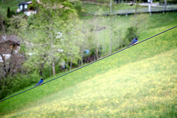Swallows in the Bernese Oberland
