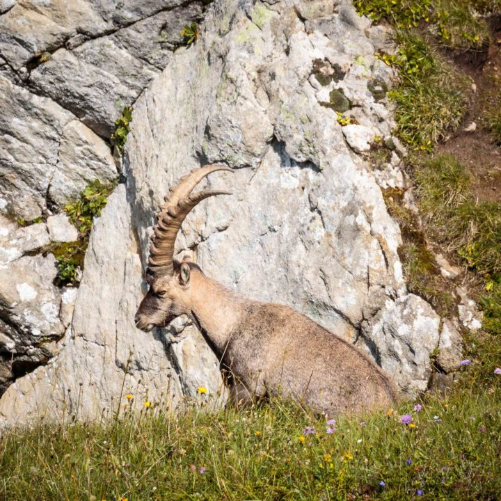 An ibex on the mountain at Gemmenalp