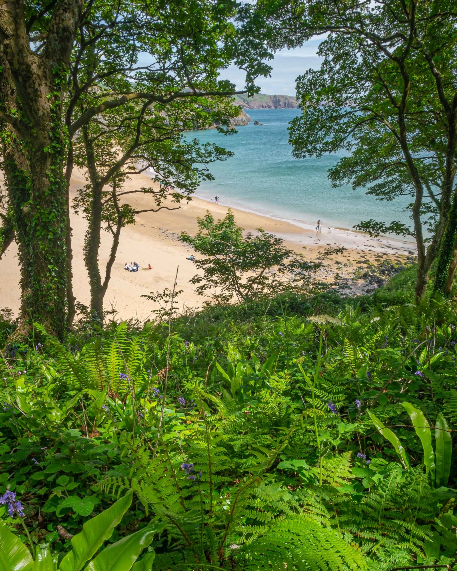 Bluebells, ferns and woods next to the beach at Barafundle