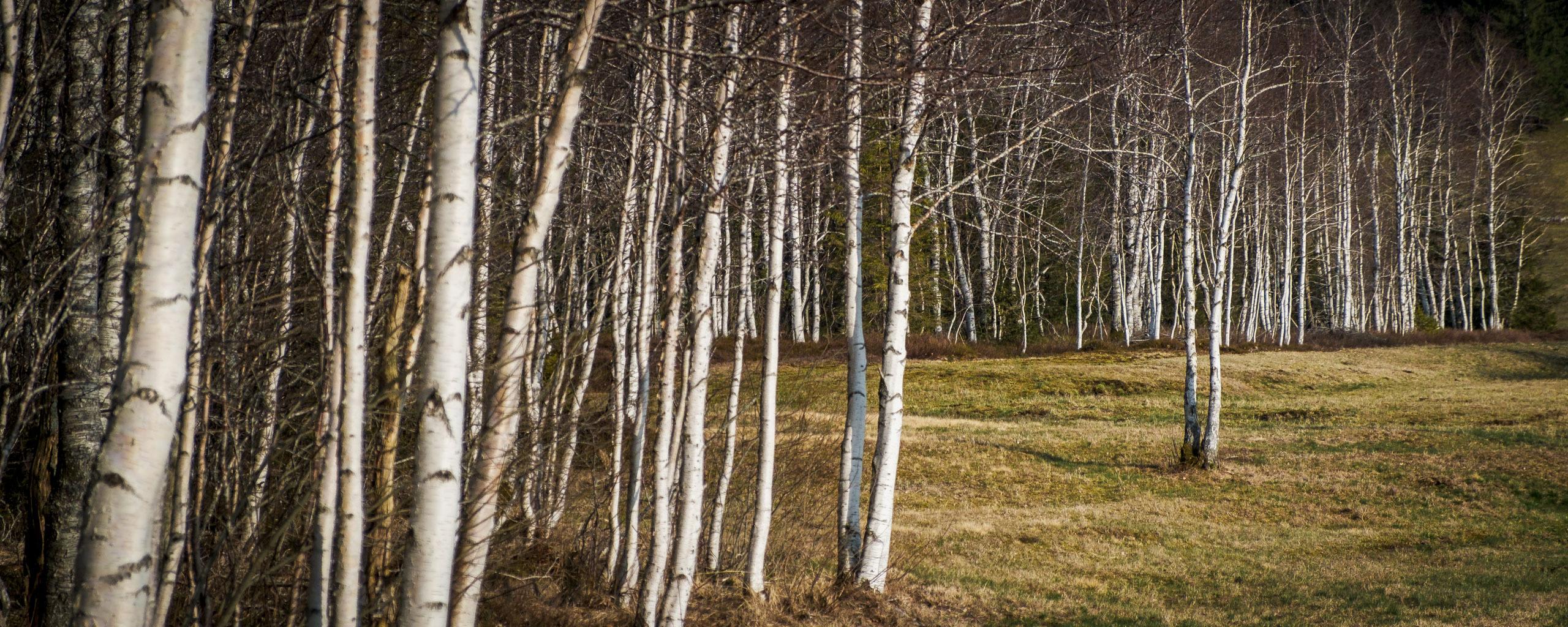 SIlver birch at La Brévine