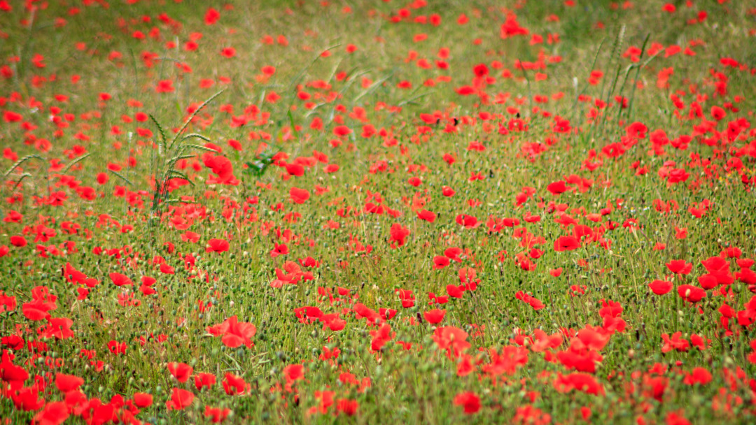 Poppy field, Champmartin