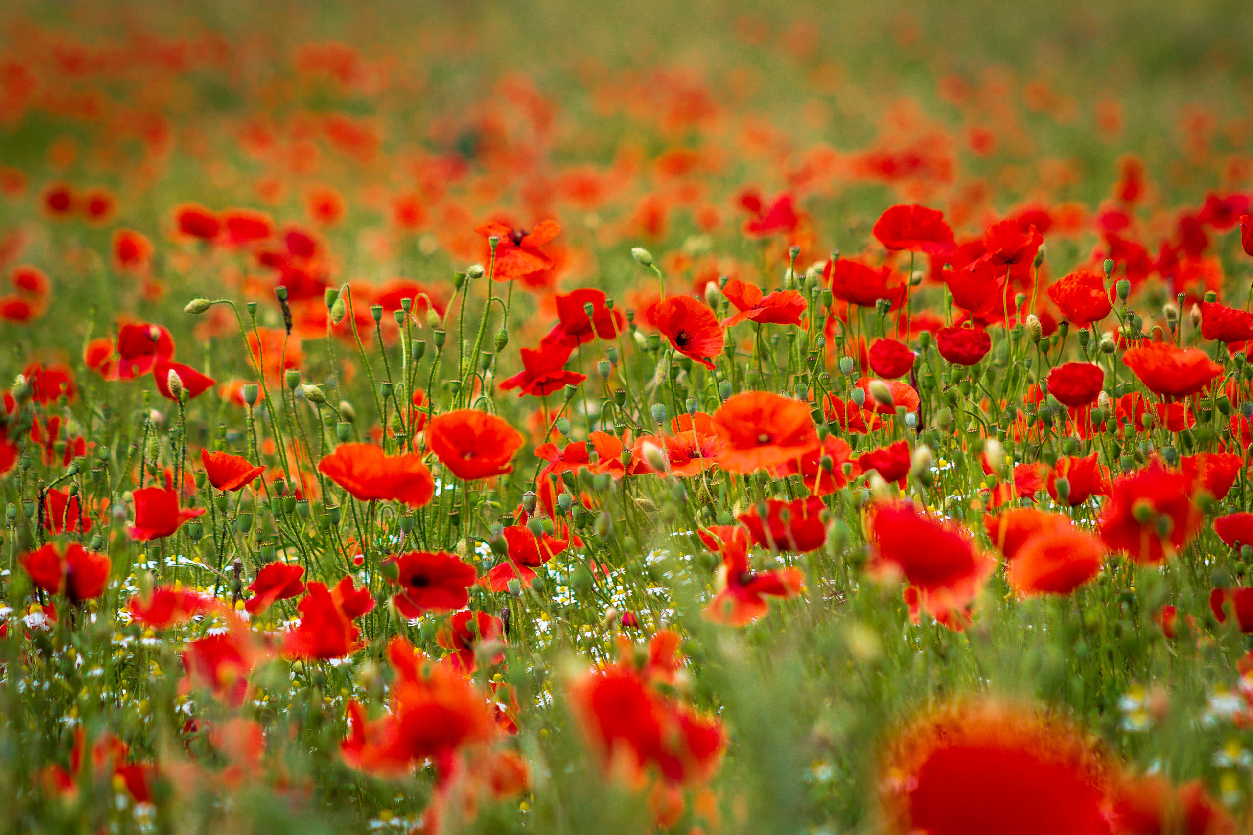 Poppies at Champmartin