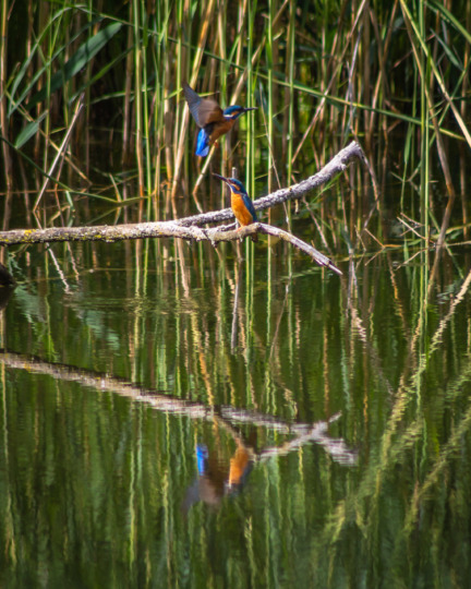 Kingfishers at La Sauge