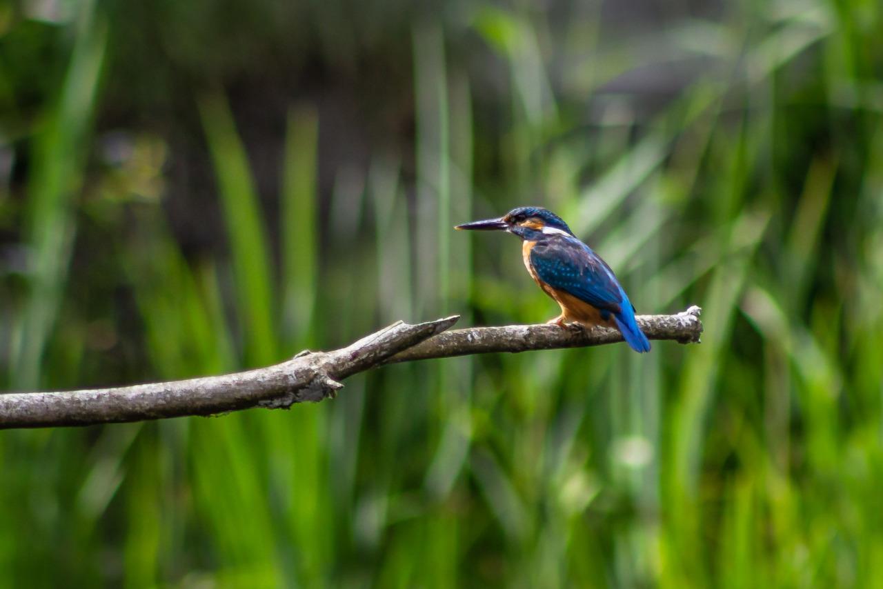 Kingfisher at La Sauge