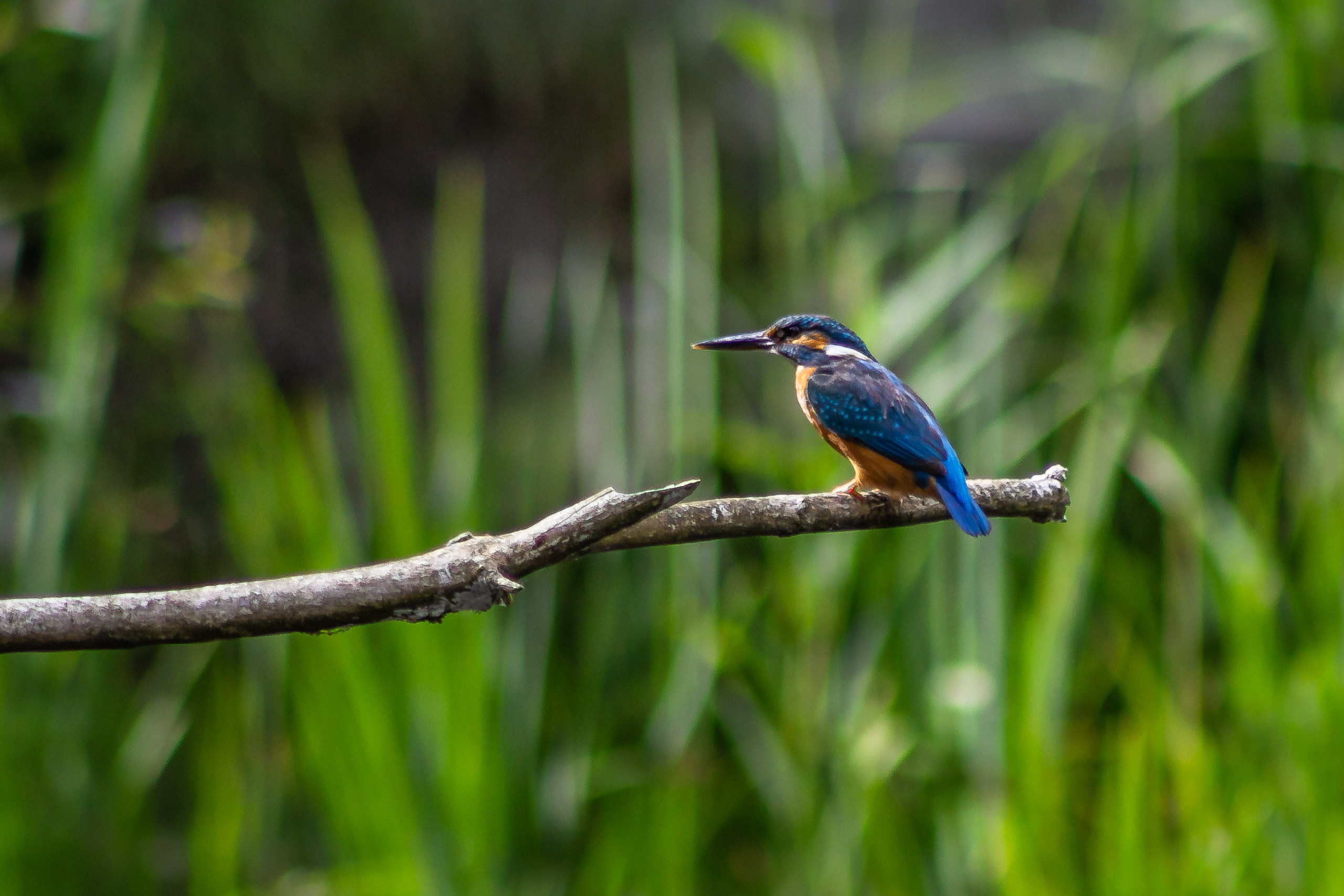 Kingfisher at La Sauge