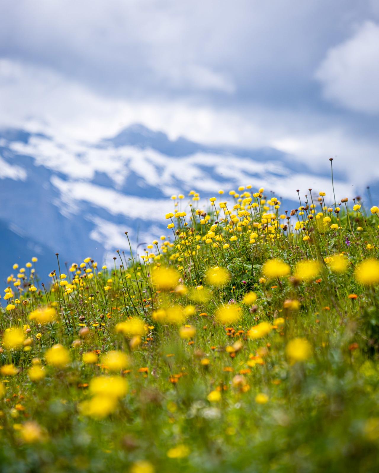 Globe flowers at Schreckfeld