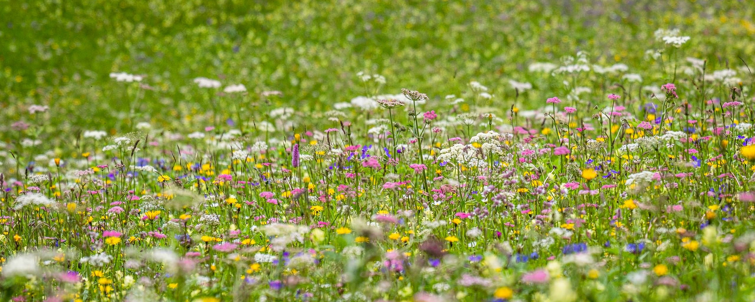 Meadow at Eggboden (Grindelwald)