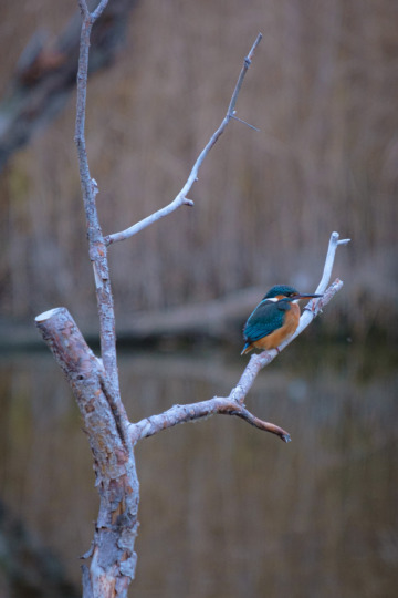 Kingfisher, Champ-Pittet