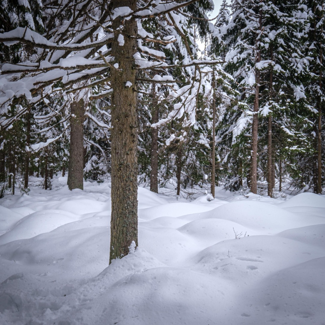 Snowy forest at Étang de la Gruère