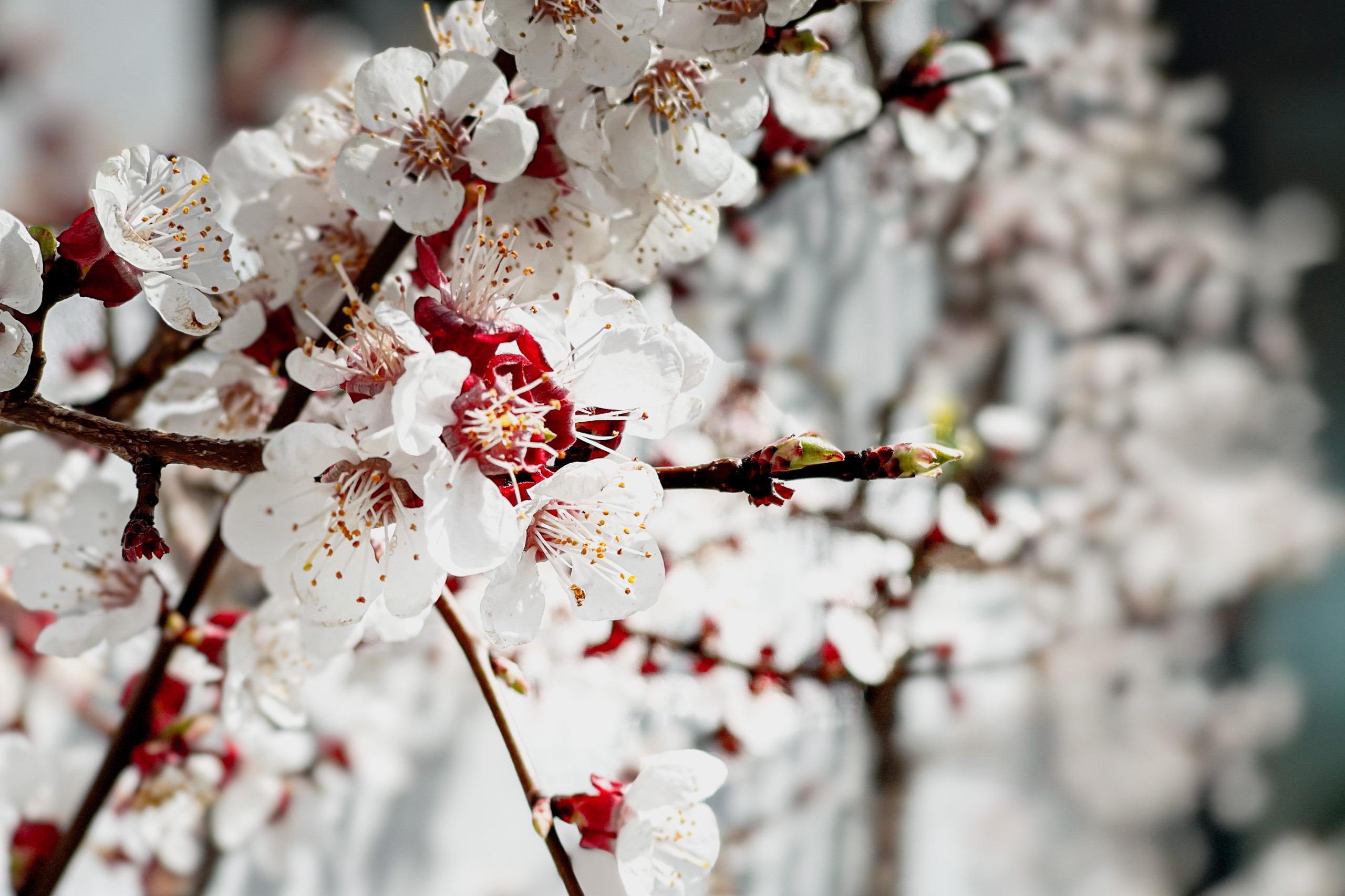 Apricot blossom, Faulensee