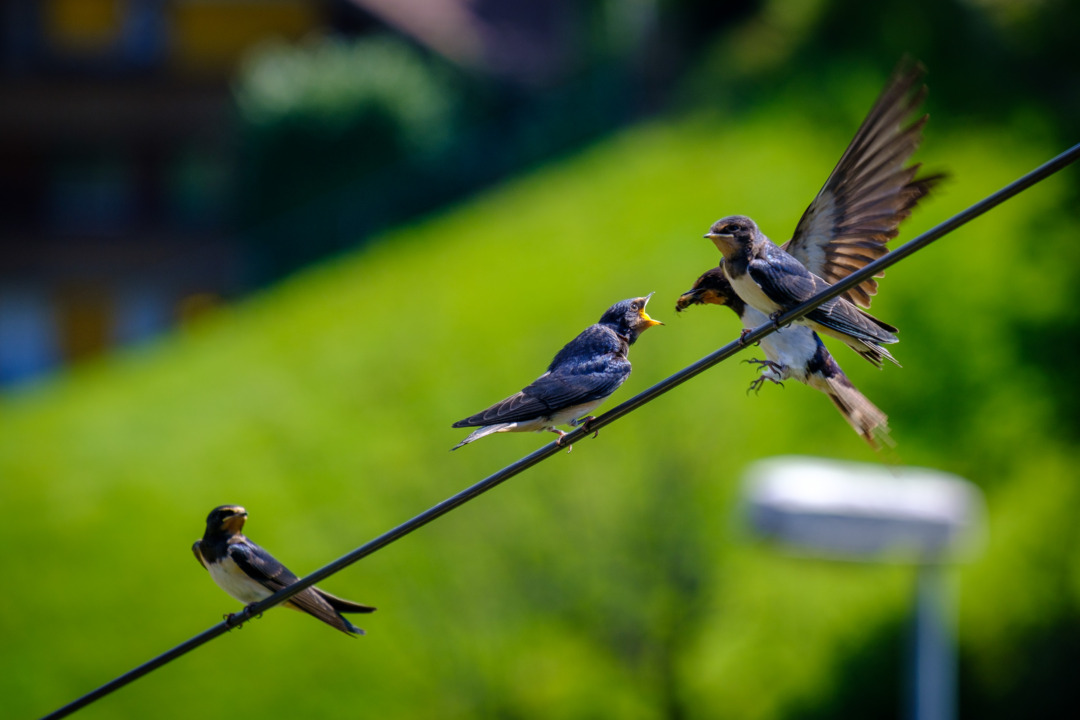 Swallows on a telephone wire