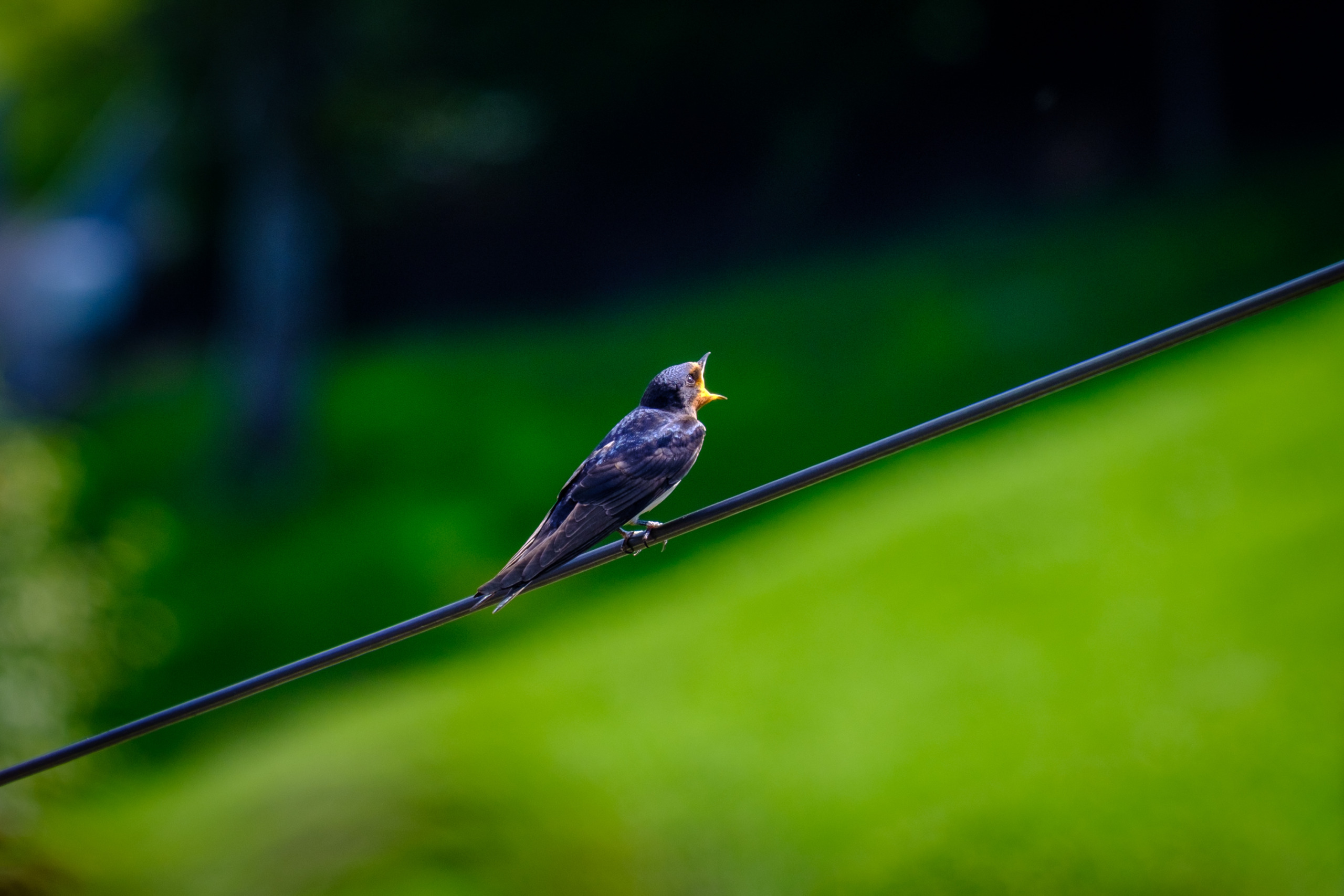 Swallow on a telephone wire